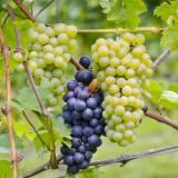 viaggio di gruppo organizzato in pullman a Riesling strada dei vini alsazia