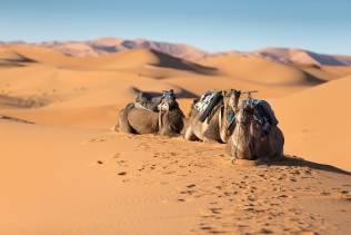 cammelli nel deserto del marocco