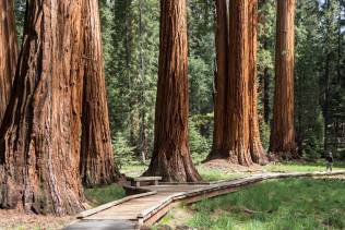 Tuolumne Grove of Gian Sequoia
